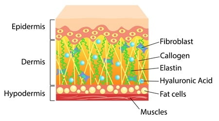 Graphic of skin cross-section showing collagen and fat cell levels