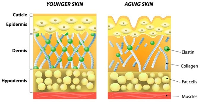 Comparison of young skin versus aging skin